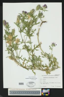 Glandularia chiricahensis image