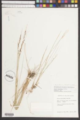 Achnatherum latiglume image