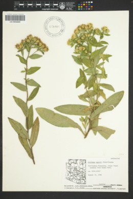 Oreochrysum parryi image