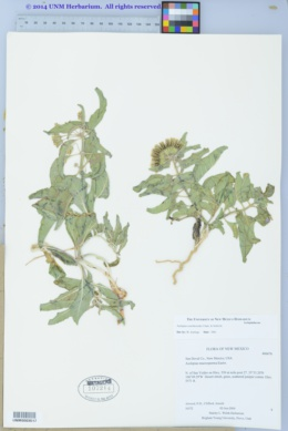 Asclepias oenotheroides image