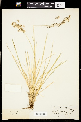 Image of Deschampsia alpicola