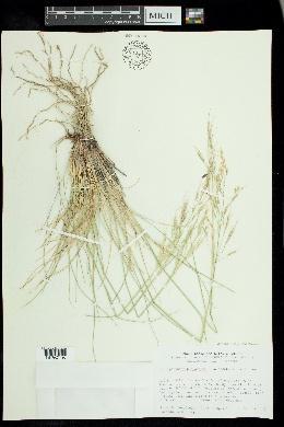 Image of X stiporyzopsis bloomeri