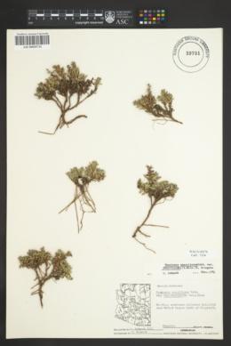 Penstemon caespitosus var. desertipicti image