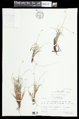 Carex arctogena image