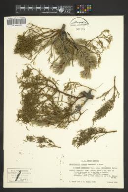 Image of Arceuthobium pendens
