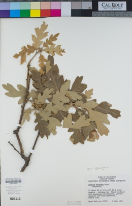 Consortium of California Herbaria, CCH2 Portal - Quercus
