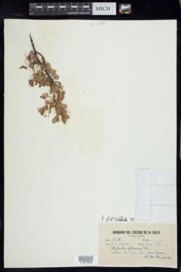 Image of Phyllanthus phlebocarpus