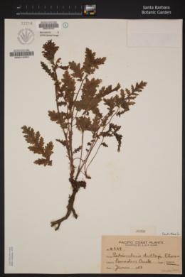 Pedicularis dudleyi image