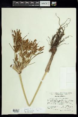 Cyperus semiochraceus image