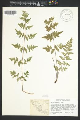 Image of Pellaea seemannii