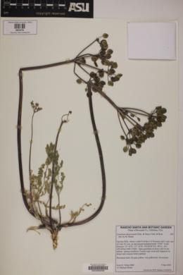 Image of Lomatium dasycarpum