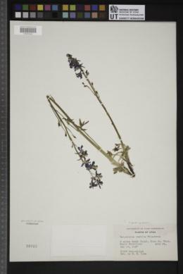 Delphinium parishii subsp. parishii image