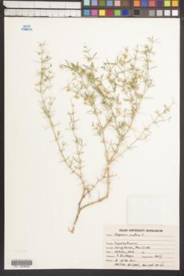 Image of Fagonia cretica