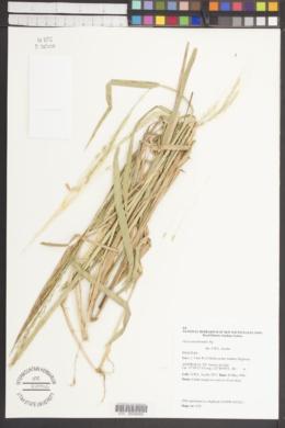 Oryza rufipogon image