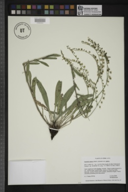 Hackelia patens var. patens image