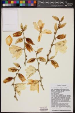 Yucca madrensis image