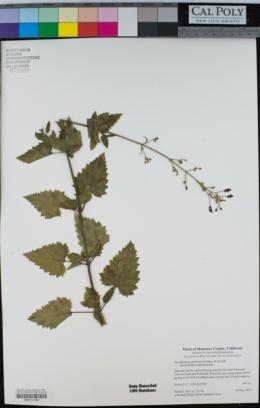 Scrophularia californica image