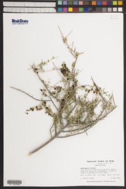 Lycium andersonii image