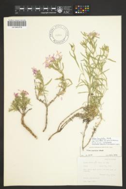 Phlox amabilis image