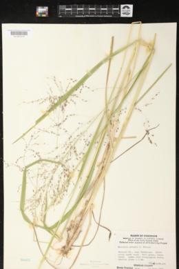 Glyceria grandis image