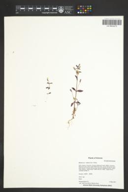 Erythranthe rubella image