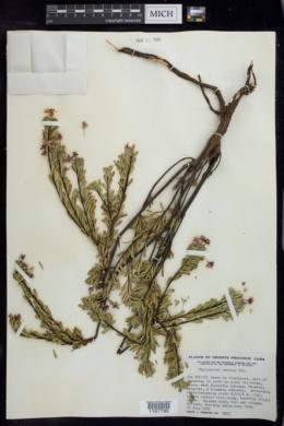 Phyllanthus comosus image