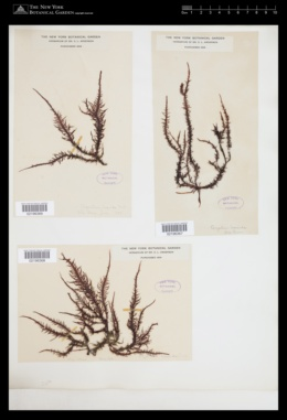 Endosiphonia horrida image