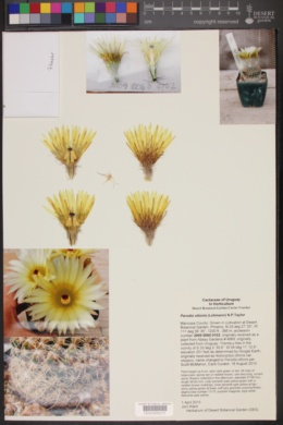 Image of Parodia ottonis