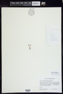 Juncus hemiendytus image