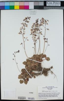 Image of Heuchera hirsutissima