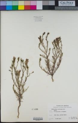 Cordylanthus laxiflorus image