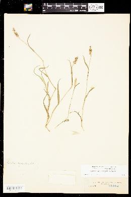 Image of Pennisetum setigerum