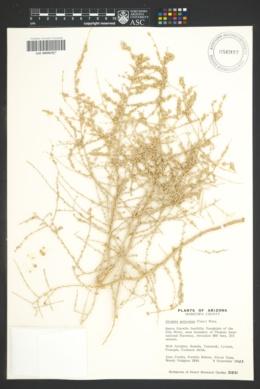 Atriplex polycarpa image