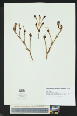 Alstroemeria pulchra image