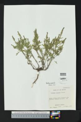 Verbena gracilis image