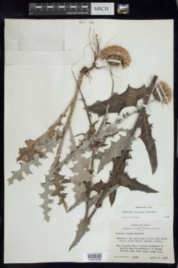 Cirsium texanum image
