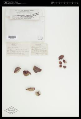 Hildenbrandia rivularis image