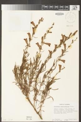 Penstemon heterophyllus image