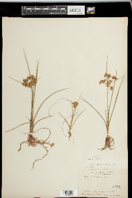 Cyperus dentatus image