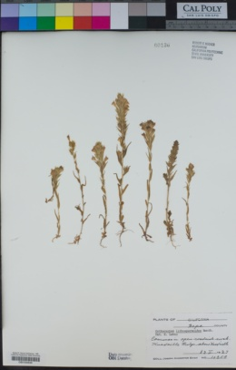 Castilleja rubicundula image