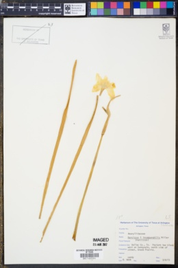 Image of Narcissus × incomparabilis