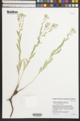 Image of Lepidium appelianum