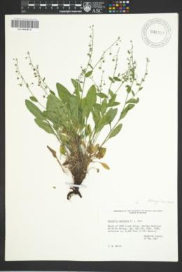 Image of Hackelia ophiobia