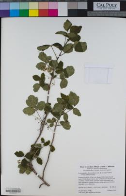 Toxicodendron diversilobum image