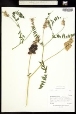 Astragalus cicer image