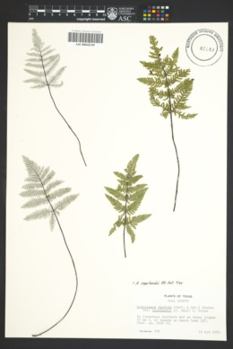 Image of Notholaena copelandii