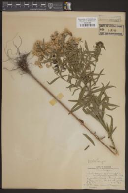 Solidago graminifolia image