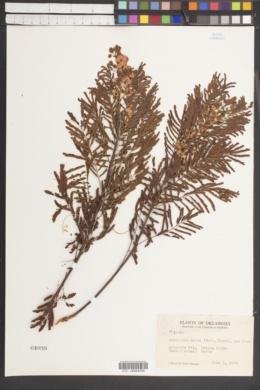 Acaciella angustissima var. texensis image