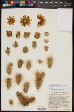Cylindropuntia echinocarpa image