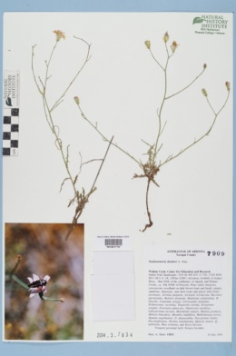 Stephanomeria thurberi image